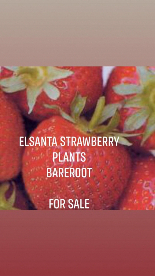 Strawberry Plants (Bareroot)