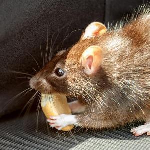 thumb_bigstock-Rat-Eating-Cake-71069302