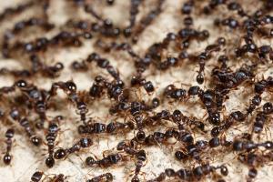 thumb_bigstock-ants-61265696
